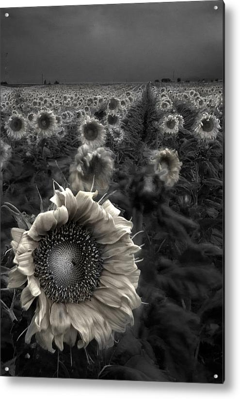 Dave Dilli - Haunting Sunflower fields... Print