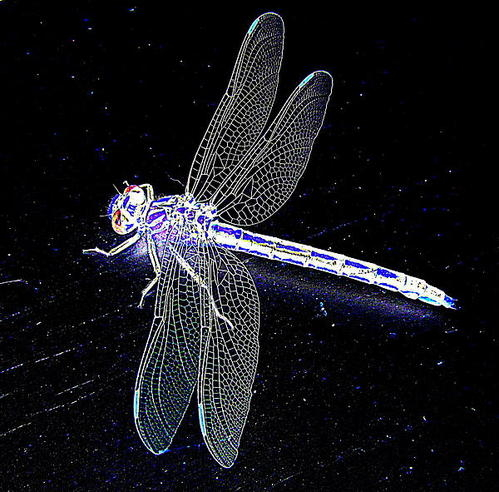 Tim Mangan - Lace Dragonfly in Blue Print