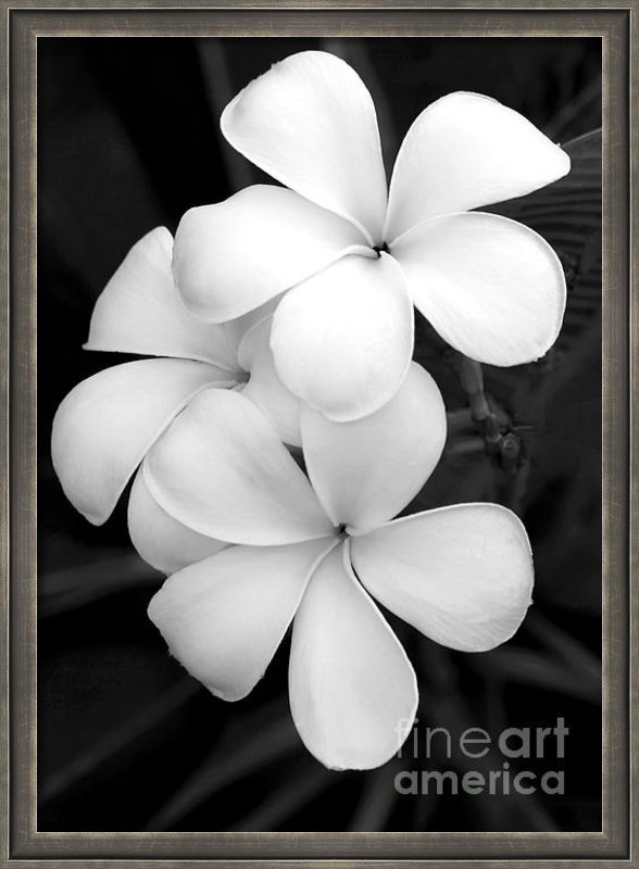 Sabrina L Ryan - Three Plumeria Flowers in... Print