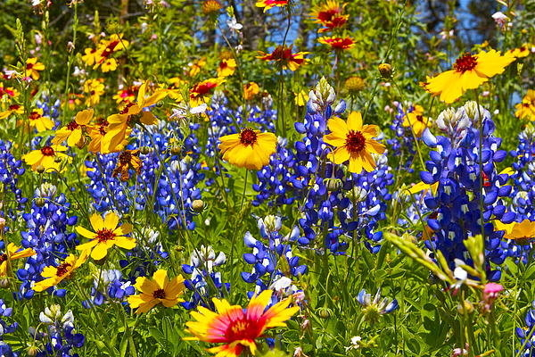 John Babis - Texas wildflowers Print