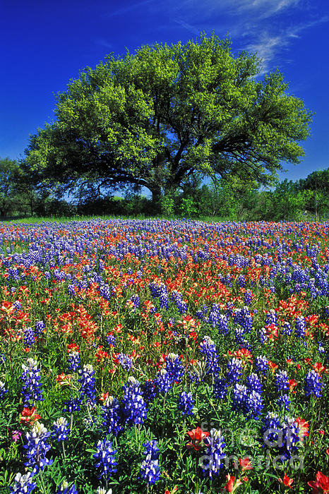 Daniel Dempster - Paintbrush and Bluebonnet... Print