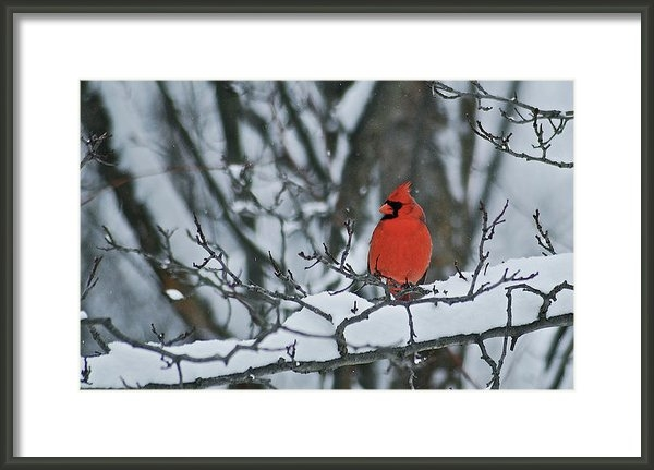 Michael Peychich - Cardinal and snow Print