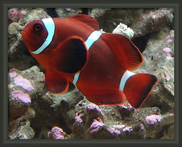 John Baumgartner - Maroon Clown Fish Print