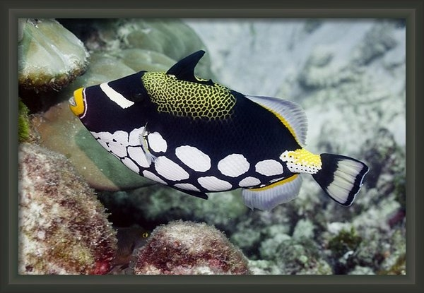 Science Photo Library - Clown triggerfish Print