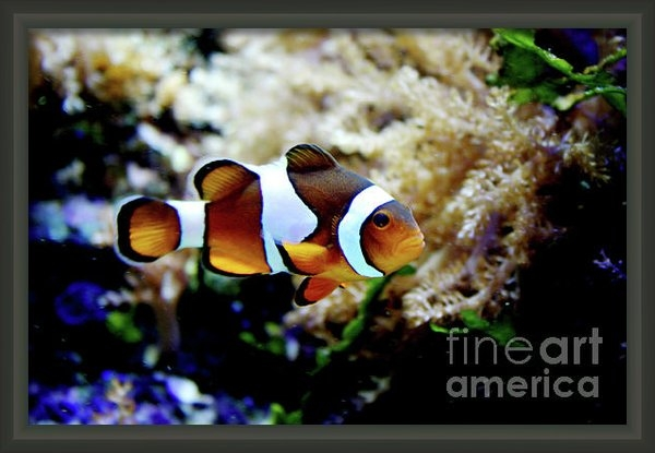 Toni Hopper - Fish stripes Clownfish Print