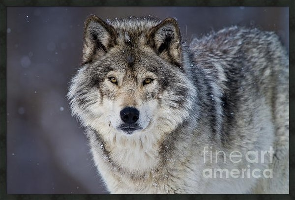 Michael Cummings - Timber Wolf Print