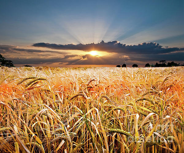 Meirion Matthias - Wheat At Sunset Print
