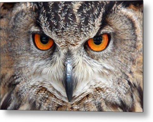 Pierre Leclerc Photography - Great horned Owl Print