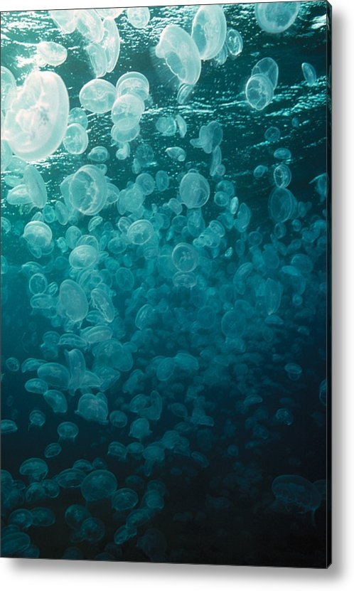 Peter Scoones - Moon Jellyfish Print