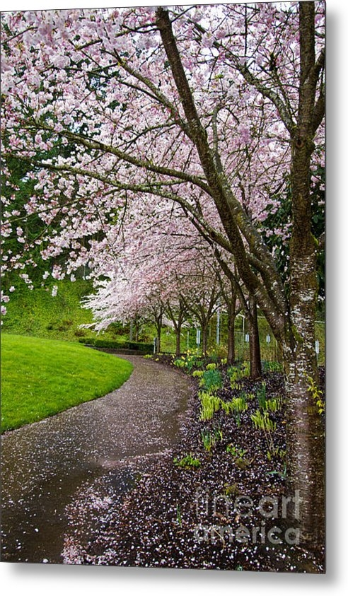 Dan Hartford - Cherry blossoms in Portla... Print