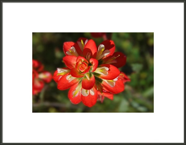 Lynn Bauer - Texas Paintbrush Print