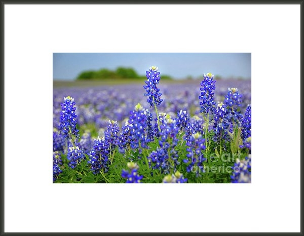 Jon Holiday - Texas Blue - Texas Bluebo... Print
