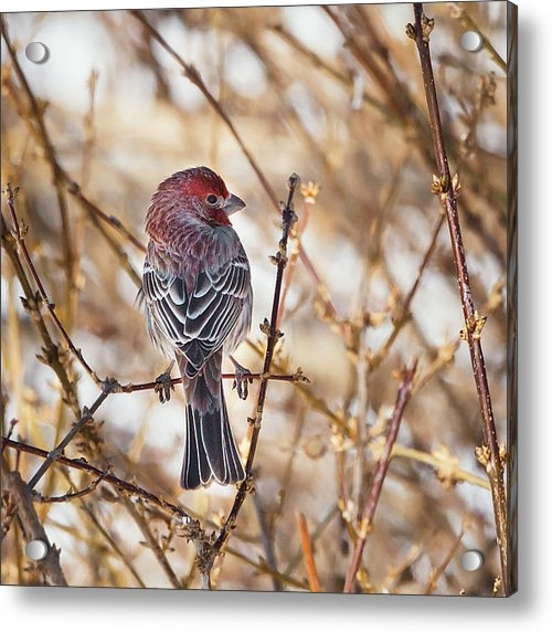 Bill  Wakeley - Backyard Birds Male House... Print