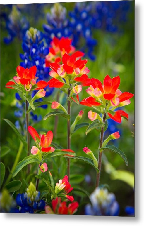 Inge Johnsson - Lone Star Blooms Print