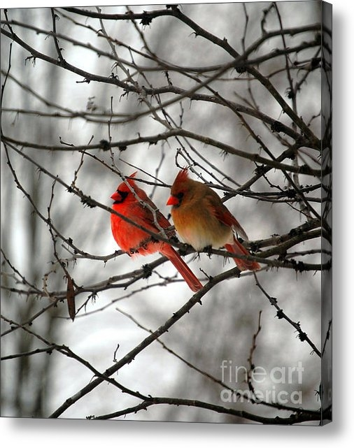 Peggy  Franz - True Love Cardinal Print