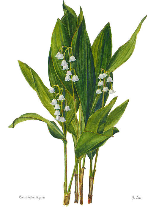 Janet  Zeh - Lily of the Valley - Conv... Print