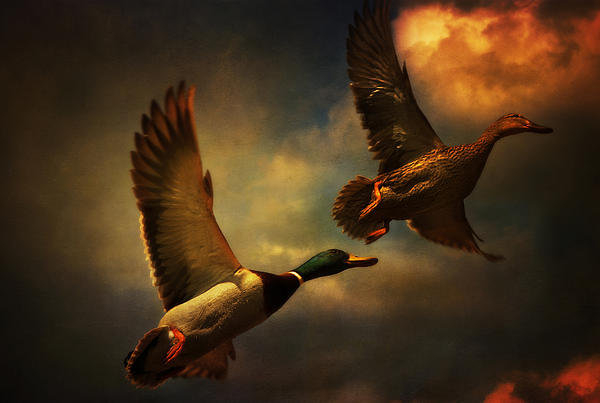 Audran Gosling - Flying Ducks Print