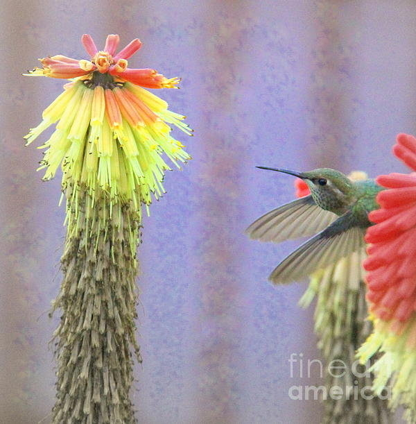 Michele Hancock Photography - Hummingbird Bliss Print