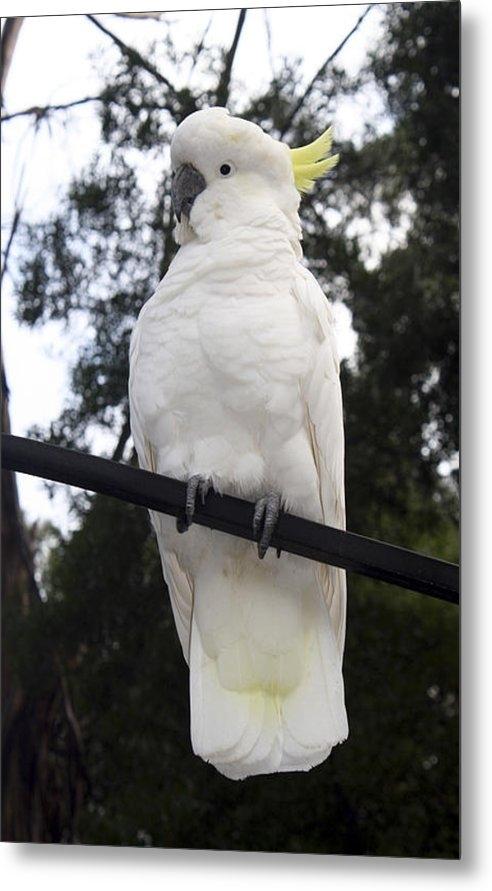 Mary  Sablovs - Cockatoo white  Print