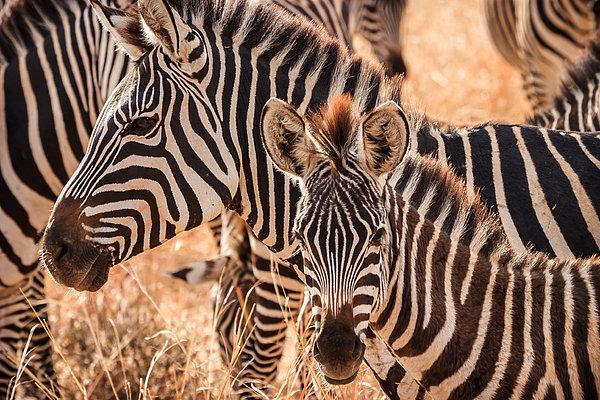 Adam Romanowicz - Zebras Print