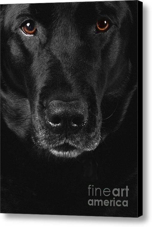 Diane Diederich - Black Labrador Retriever Print