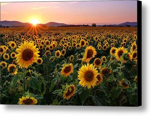 Timothy Eberly - Sunflower Sunset Print