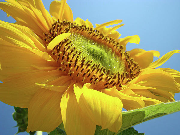 Baslee Troutman Fine Art Collections - Yellow Sunflower Blue Sky... Print