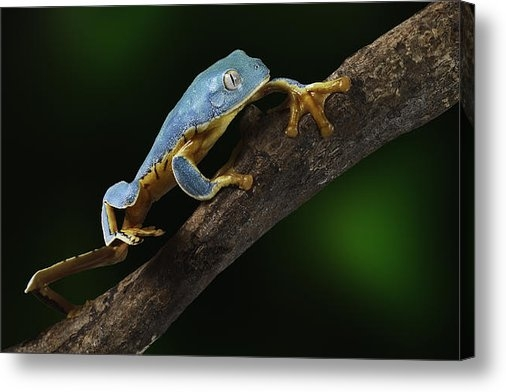 Dirk Ercken - Tree frog climbing Print