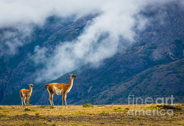 Inge Johnsson - Guanaco Mother and Child Print