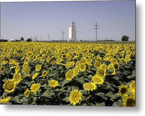 Chris Harris - Sunflower Field 3 Print