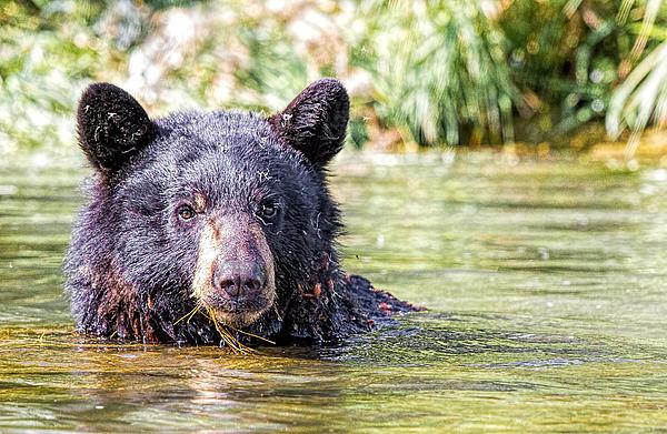 David Palmer - Bighorn Black Bear Stare Print