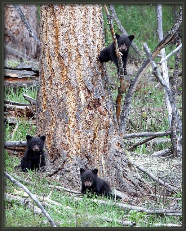 Jack Bell - The Three Bears Print