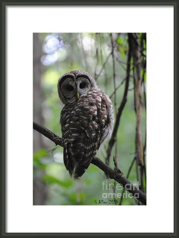Gordon  Allen - Barred Owl Print