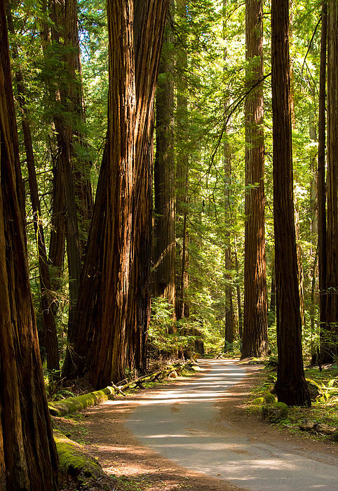 Clay Townsend - Road Through The Redwoods Print