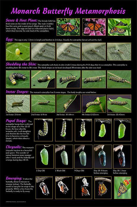 Valerie  Evanson - Monarch Butterfly Metamor... Print