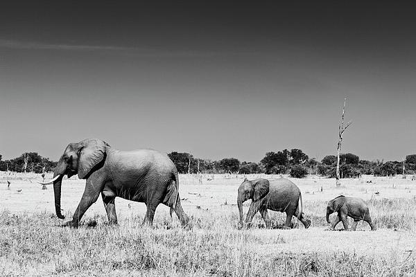 Johan Elzenga - Elephant family Print