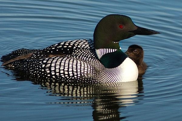 Bear Paw Resort Photography - Loon and Chick 21 Print