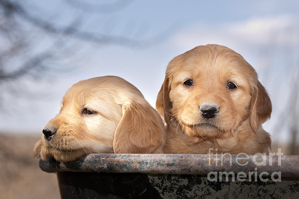 Cindy Singleton - Golden Puppies Print