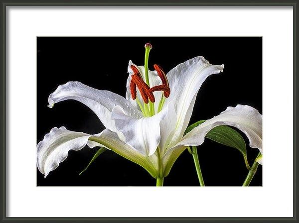 Garry Gay - White tiger lily still li... Print
