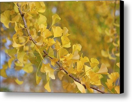 Andria Patino - Yellow ginkgo biloba tree... Print