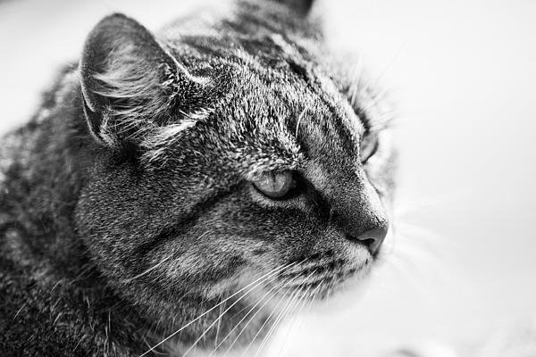 Hakon Soreide - Concentrating Cat Print