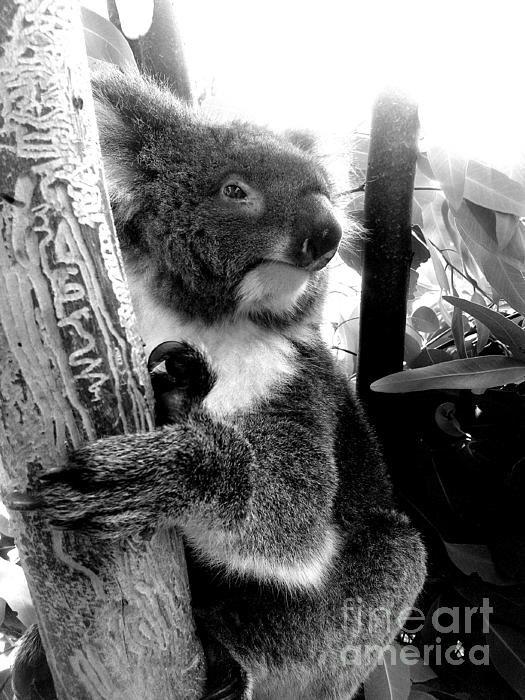 Alan Hogan - Koala Print