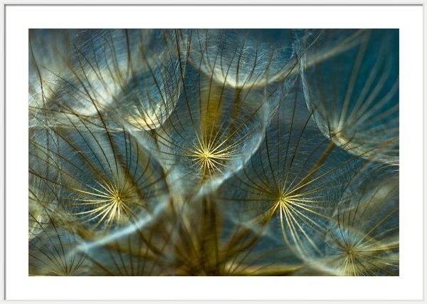 Iris Greenwell - Translucid Dandelions Print