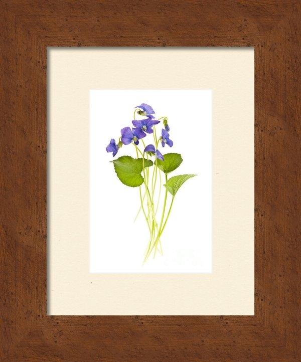 Elena Elisseeva - Spring violets on white Print