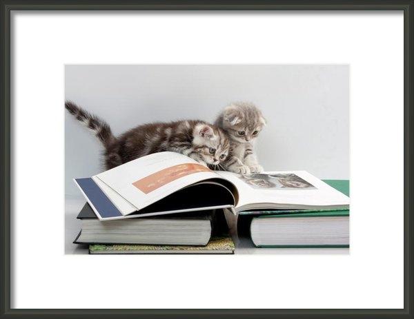 Evgeniy Lankin - Scottish Fold cats Print