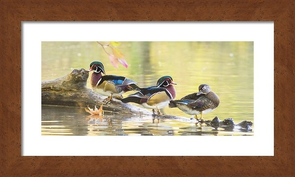 Mircea Costina Photography - Wood-ducks panorama Print