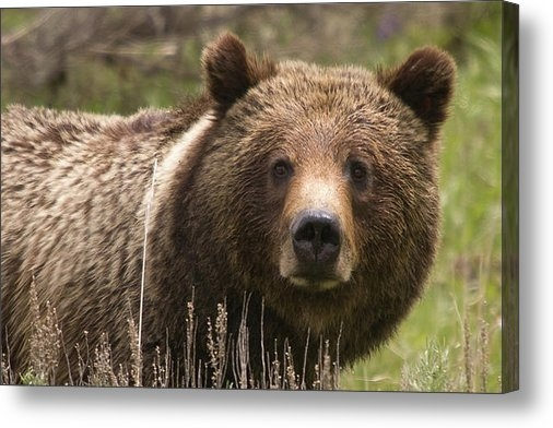 Steve Stuller - Grizzly Portrait Print