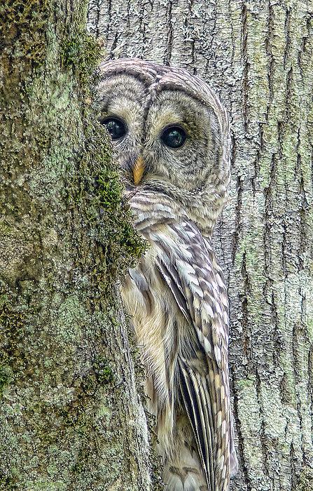 Jennie Marie Schell - Barred Owl Peek a Boo Print