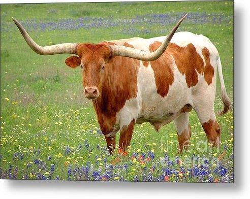 Jon Holiday - Texas Longhorn Standing i... Print