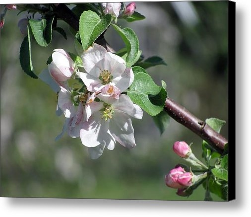 Donna King - Apple Blossoms Print